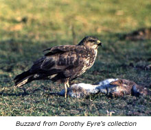Buzzard from Dorothy Eyre's collection